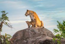 Löwen Tansania