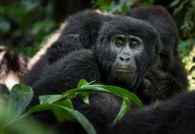 Mountain Gorillas Bwindi